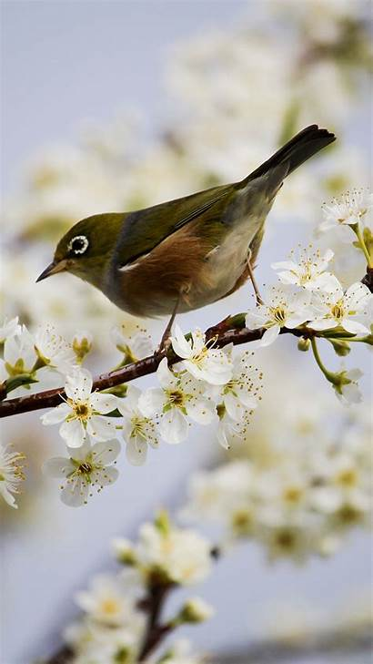Bird Blossom Phone Mobile Wallpapers Phones Ultra