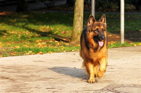german shepherd pure breed check identify might ways dog