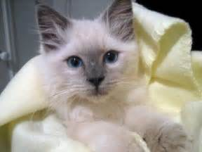 rag doll cat ragdoll cat pictures and images