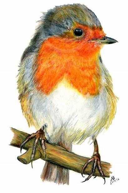 Birds Garden Robin Drawing British Pencil Breast