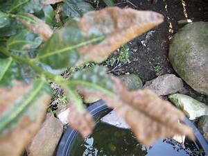 Kirschlorbeer Braune Blätter : braune bl tter am kirschlorbeer frag mutti forum ~ Lizthompson.info Haus und Dekorationen