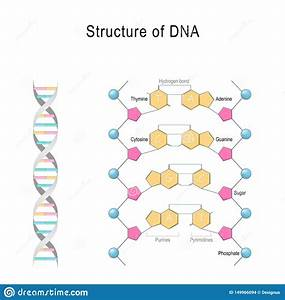 Dna Structure  Vector Diagram Stock Vector