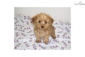 yorkiepoo yorkie poo puppy for sale near springfield
