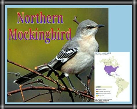 northern mockingbird cool facts it s not just other