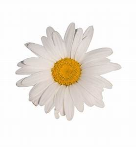 Daisy Flower White Background Free Stock Photo - Public ...