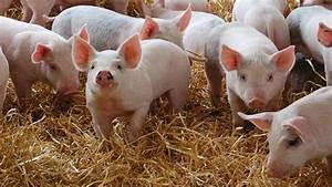 Advice For Controlling Prrs In Pigs