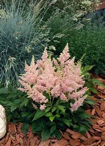Astilbe arendsii, Astary® Pink, Perennial   Benary