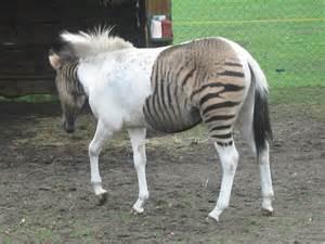 Zebra Pony Hybrid