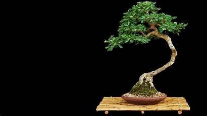 Bonsai Tree Res Hi Desktop Wiki Zen