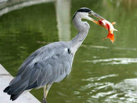 le bureau heron parc photos hé cendré au parc de bercy à ash heron