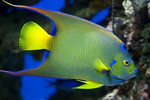 Saltwater Queen Angelfish