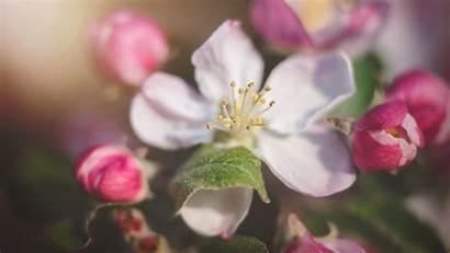 Blossom Apple Flower Flowers Wallpapers 1080 1280