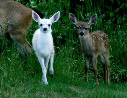 Fawn Angry Fawns Animals Rare Eyebrows Deer