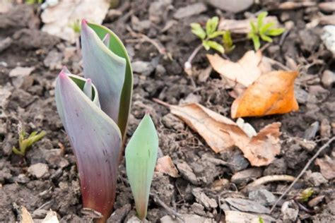 fall planting for bulbs thriftyfun