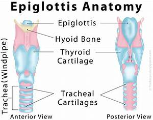 Epiglottis Definition  Location  Functions  And Pictures