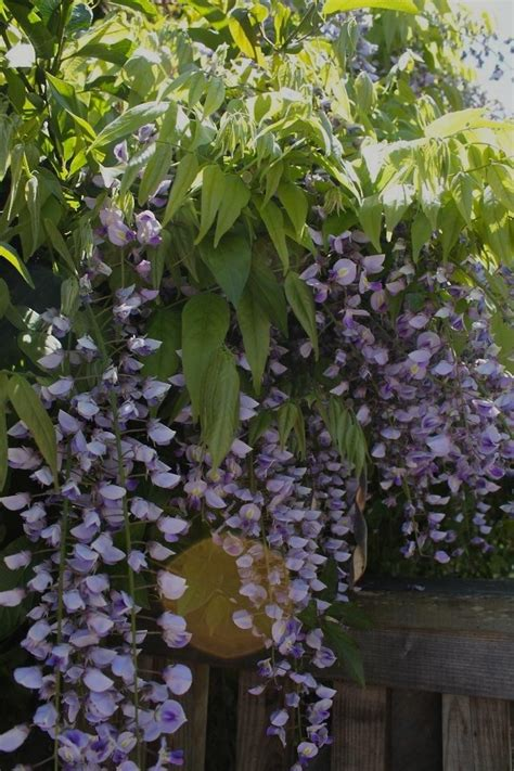 planting a wisteria plant of the week wisteria gardenista