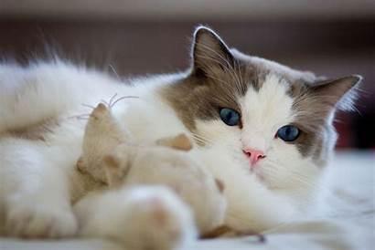 Ragdoll Cat Cats Desktop Japanese Bobtail Wallpapers