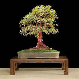 Bonsai Chinesische Ulme : bonsai herz galerie ~ Sanjose-hotels-ca.com Haus und Dekorationen