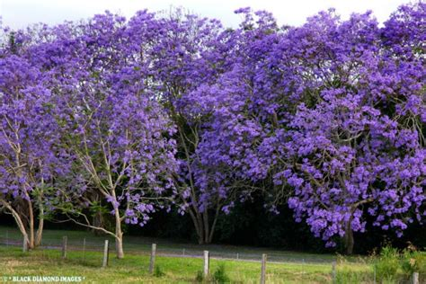 images flowering trees 20 most beautiful flowering trees around the world