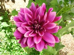 best wedding planner books dahlias how to plant grow and care for dahlia flowers