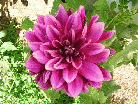 grow dahlia dahlias how to plant grow and care for dahlia flowers the old farmer s almanac