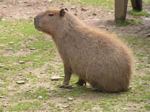 Amazon Animals Capybara