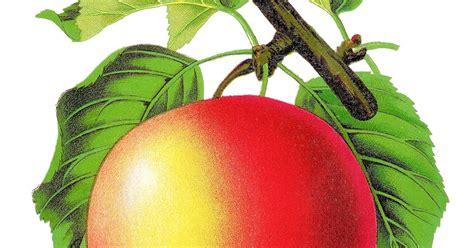 Antique Images Stock Apple Vintage Botanical Artwork
