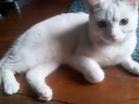white cat breeds white cat shrewsbury shropshire pets4homes