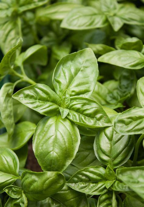 basilikum pflanze pflege basilikum anbauen 187 aussaat pflege im garten majas pflanzenwelt
