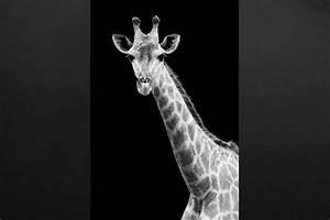 Tableau Photo Noir Et Blanc : tableau moderne girafe noir et blanc izoa ~ Melissatoandfro.com Idées de Décoration