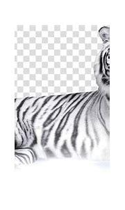 Felidae Bengal tiger White tiger , tigres transparent ...