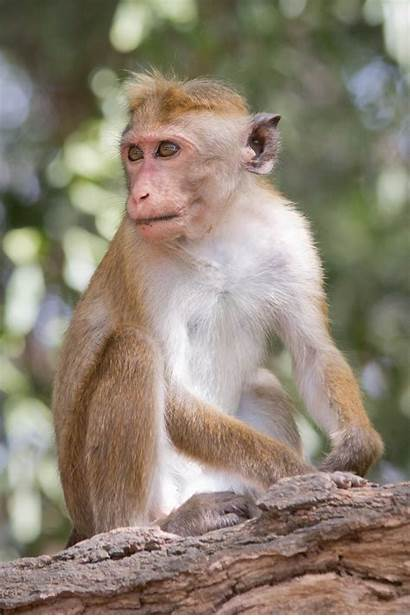 Monkey Macaca Wikipedia