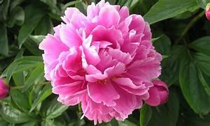 Langage Des Fleurs Pivoine : tout savoir sur les pivoines m6 bouquets pinterest pivoine pivoine arbustive et fleurs ~ Melissatoandfro.com Idées de Décoration