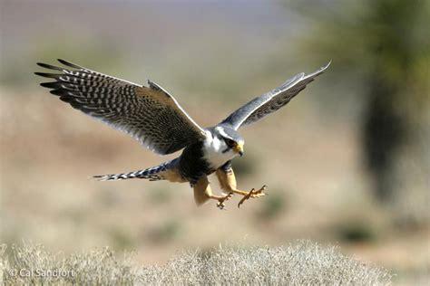 aplomado falcon falco femoralis  explore raptors