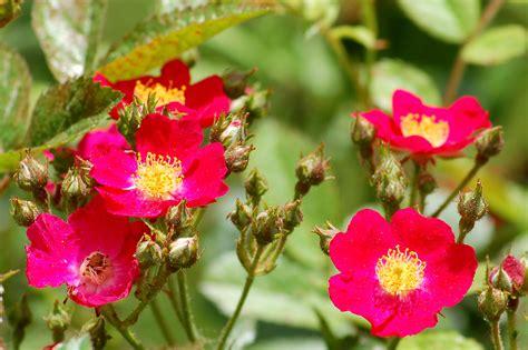 Latesummer Flowering Shrubs 10 Best Bloomers