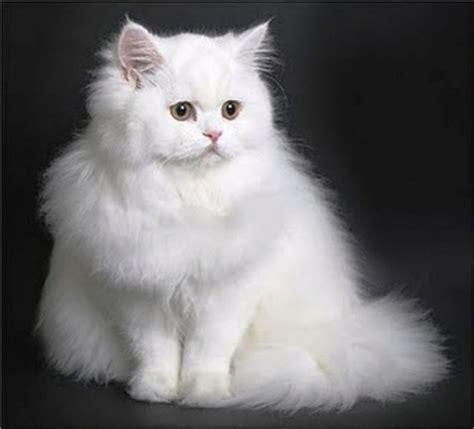 Anak Kucing Anggora Imut Lucu Majalah Cat Dog