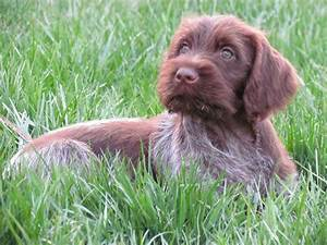 Maggie. A wirehaired pointing Griffon. From Pheasants ...