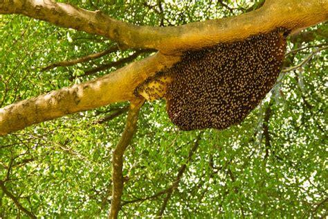 killer bee invasion   linked  warmer temperatures