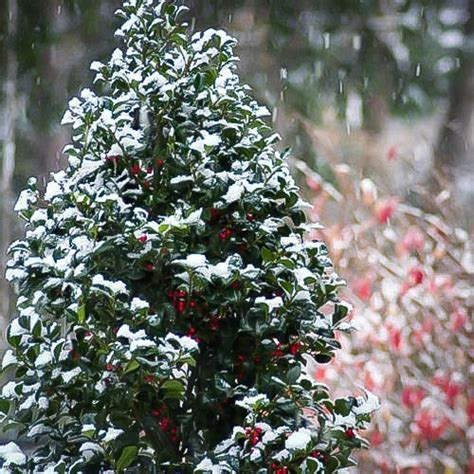 castle spire blue holly heckenfee  sale  tree