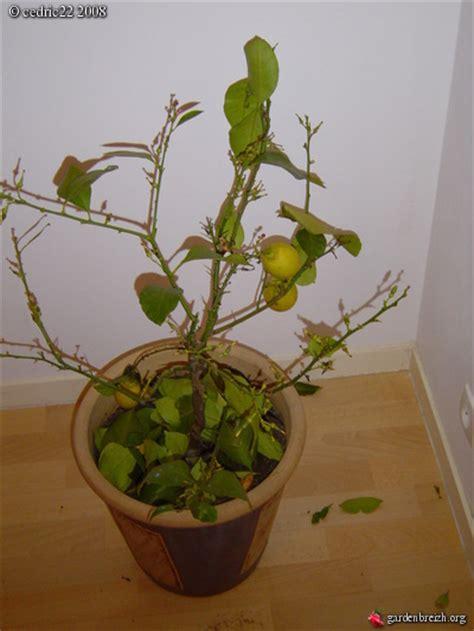 citronnier qui perd ses feuilles sans titre les galeries photo de plantes de gardenbreizh
