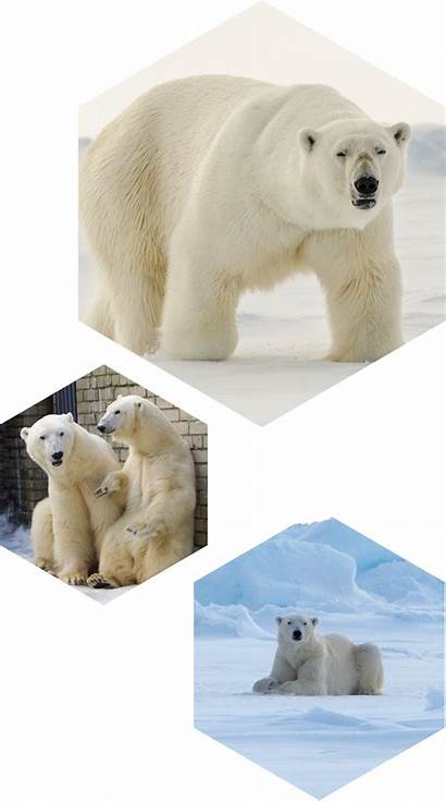 Polar Bears Bear Polarium Many
