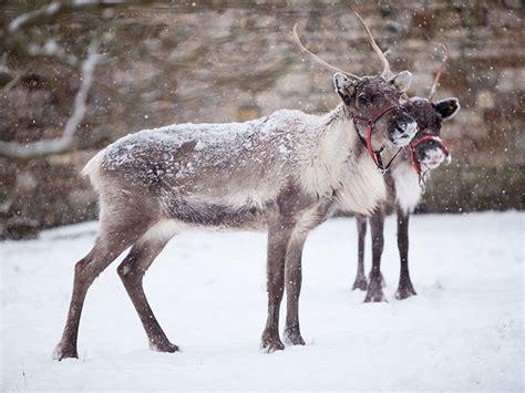 real reindeer reindeer  hire