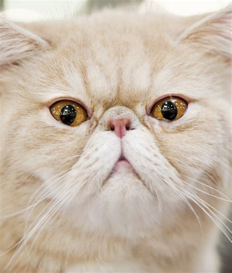 10 Persian Cat Facts  Persian Cat