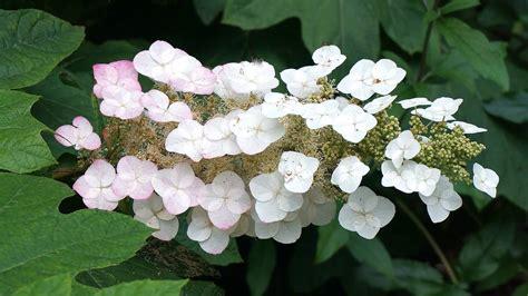 eichenblatt hortensie schneiden ᐅ hortensien pflege 2019 schneiden vermehren 252 berwintern