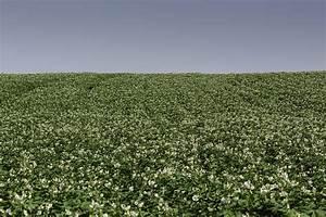 Potato Growers Gain Revolutionary Blight Fungicide