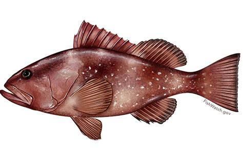 grouper fish gulf species mexico fishing teeth throat regulations beach inside