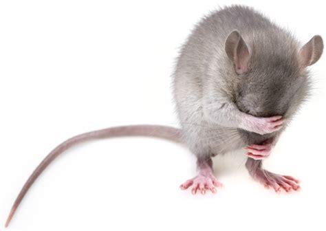 mäuse vertreiben geruch geruch der m 228 use vertreibt robput