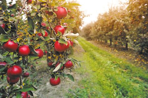 50,000 Apples Stolen From Indiana Apple Orchard - Thrillist