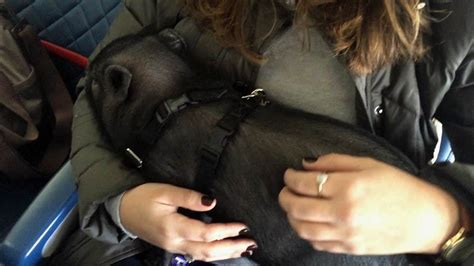 emotional support animals flying pig pets today plane beastly experts say making planes fly rules playing