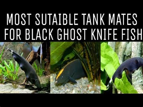 tank mates  black ghost knife fish youtube